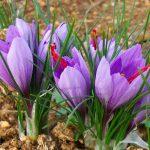 تولید عصاره زعفران ارگانیک بهرامن
