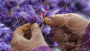 تولید باکیفیت ترین محصول در کارخانه عصاره زعفران