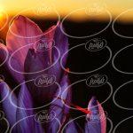 عرضه انواع زعفران بسته بندی اسپانیا