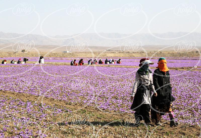 خرید زعفران مرغوب با شرایط عالی و ویژه