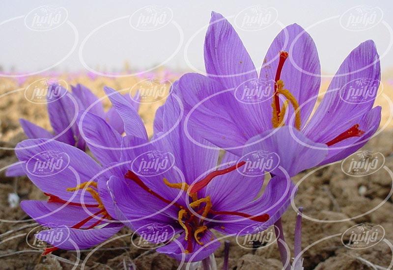 تولید افشانه زعفران کاملا طبیعی ایرانی