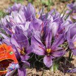 فروش عصاره زعفران قائنات یک لیتری