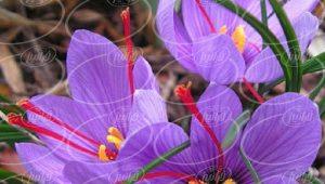 باکیفیت ترین اسانس زعفران پودری